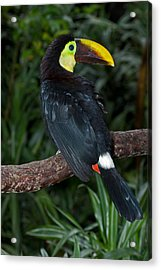 Chestnut-mandibled Toucan At La Paz Waterfall Gardens Acrylic Print
