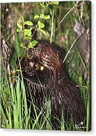Chewy Acrylic Print by Sarah  Lalonde