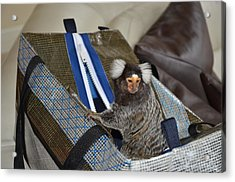 Chewy The Marmoset Going Fishing Acrylic Print by Barry R Jones Jr
