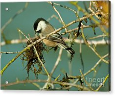 Chick-a-dee Acrylic Print by Rod Wiens