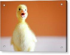Chick Acrylic Print by Baobao Ou