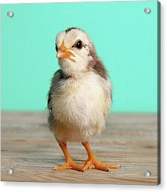 Chick On Wood Acrylic Print by Retales Botijero