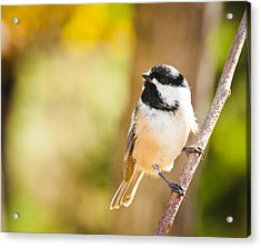 Acrylic Print featuring the photograph Chickadee by Cheryl Baxter