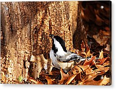 Chickadee With Sunflower Seed Acrylic Print by Larry Ricker