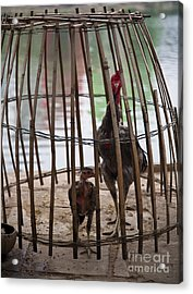 Chickens In Bamboo Cage Acrylic Print by David Buffington