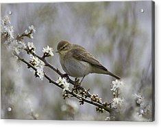 Chiff Chaff On Blackthorn Blossom Acrylic Print
