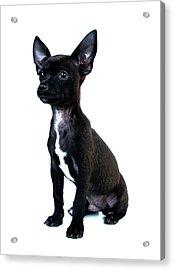 Chihuahua Puppy Acrylic Print by Hapa