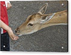 Child Feeding Deer Acrylic Print by Matthias Hauser