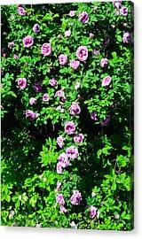 China Rose Acrylic Print