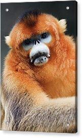 China, Shaanxi Province, Golden Monkey (rhinopithecus Roxellana ) Acrylic Print by Jeremy Woodhouse