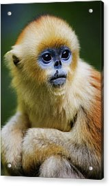 China, Shaanxi Province, Young Golden Monkey (rhinopithecus Roxellana) Acrylic Print by Jeremy Woodhouse