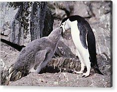 Chinstrap Penguin Feeding Chick Acrylic Print by Doug Allan