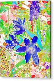 Chionodoxa Acrylic Print