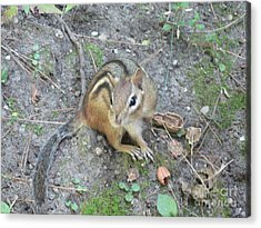 Acrylic Print featuring the photograph Chipmunk Feast by Laurel Best