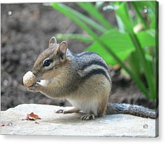 Acrylic Print featuring the photograph Chipmunk by Laurel Best