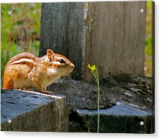 Chipmunk With Flower Acrylic Print