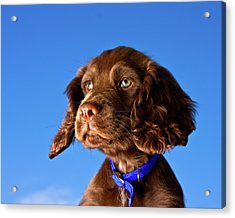 Chocolate Brown Cocker Spaniel Puppy Acrylic Print by Andrew Davies