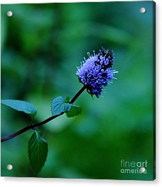 Chocolate Mint Bloom Acrylic Print