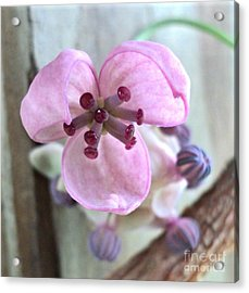 Chocolate Vine Young Bloom Macro Acrylic Print by Padre Art