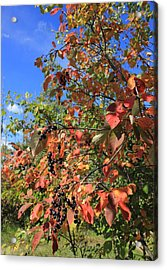 Chokecherry Tree Acrylic Print by Jim Sauchyn