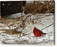 Acrylic Print featuring the photograph Christmas Cardinalthe  by Edward Peterson