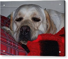 Christmas Lab Acrylic Print by Christine Drake