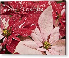 Christmas Poinsettias Acrylic Print by Michael Peychich