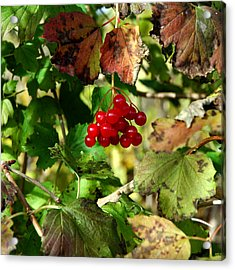Christmas Red Berry Grapevine Acrylic Print