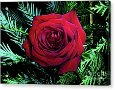 Christmas Rose Acrylic Print by Mariola Bitner