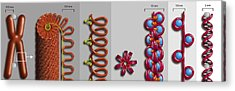Chromatin Condensation, Diagram Acrylic Print by Art For Science