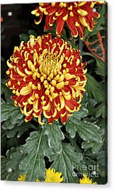 Acrylic Print featuring the photograph Chrysanthemum by Eva Kaufman