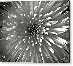 Chrysanthemum In Black And White Acrylic Print