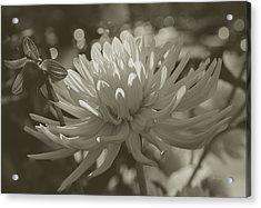 Chrysanthemum In Bloom Acrylic Print by Xueling Zou