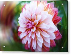 Chrysanthemum Revelation Acrylic Print by Anthony Rego