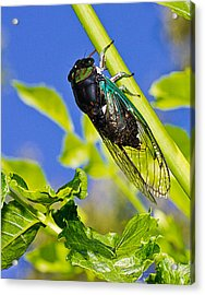 Cicada 002 Acrylic Print by Barry Jones