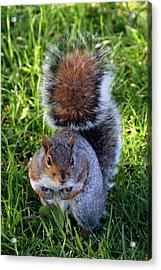 City Squirrel Acrylic Print