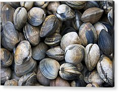 Clam Shell Background Acrylic Print by Jane Rix