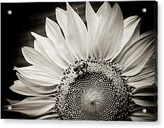Acrylic Print featuring the photograph Classic Sunflower by Sara Frank