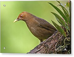 Clay-colored Thrush Acrylic Print