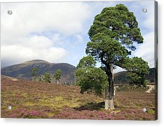 Cleared Scots Pine Forest Acrylic Print by Duncan Shaw