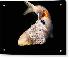 Clearly Rising Koi Acrylic Print by Don Mann