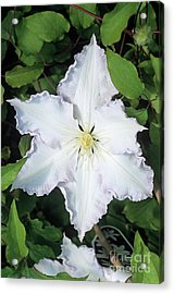 Clematis 'gladys Picard' Flower Acrylic Print by Adrian Thomas