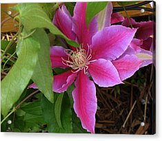 Acrylic Print featuring the photograph Clematis by Kimberly Mackowski