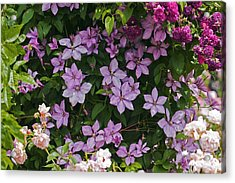 Clematis 'margaret Hunt' Acrylic Print by Dr Keith Wheeler