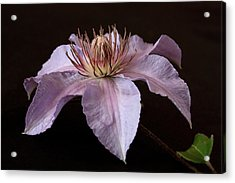 Acrylic Print featuring the photograph Clematis by Shirley Mitchell