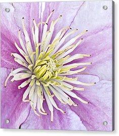 Clematis Up Close Acrylic Print