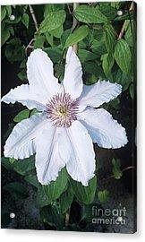 Clematis 'ville De Lyon' Flower Acrylic Print by Adrian Thomas
