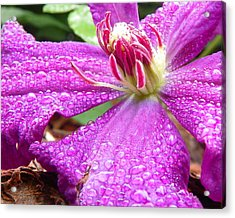 Acrylic Print featuring the photograph Clematis With Dew by Chad and Stacey Hall