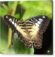 Acrylic Print featuring the photograph Clipper Butterfly by Lynn Bolt