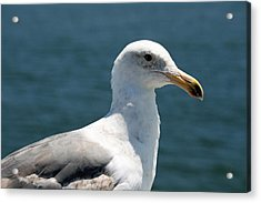 Close Seagull Acrylic Print by Wendi Curtis